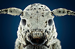 Pictured: White longhorned beetle.<br /> <br /> A series of mesmerising close-up images of insects make them look like aliens.  Photographer Marco Jongsma captured the macro shots of a range of bugs including a cuckoo wasp and a crab spider.<br /> <br /> The pictures detail the intricate features and patterns of the insects - from the bulging yellow eyes of a tiger beetle to the delicate hairs on a honey bee.  The 34-year-old used a macro lens and a microscope to picture the insects in a laboratory at his home in Lemmer, the Netherlands.  SEE OUR COPY FOR DETAILS.<br /> <br /> Please byline: Marco Jongsma/Solent News<br /> <br /> © Marco Jongsma/Solent News & Photo Agency<br /> UK +44 (0) 2380 458800