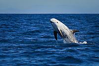 Risso's dolphin, Grampus griseus, breaching, San Diego, California, USA, Pacific Ocean