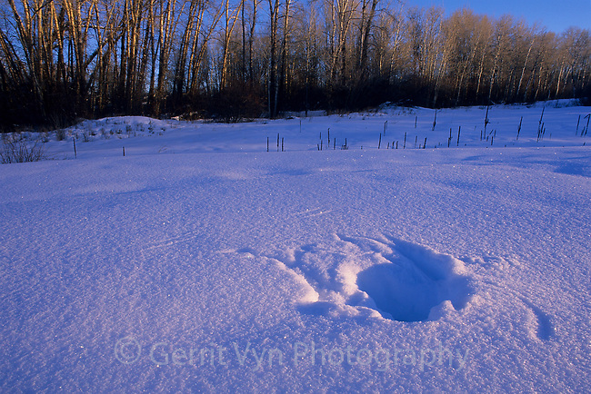 Great Gray Owl (Strix nebulosa) plunge marks in snow. This species is able to locate and capture prey deep beneath snow cover with its incredible hearing. Driggs County, Idaho. January.