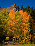 Aspens near Red Mountain Pass, Colorado ©2017 James D Peterson.  We were fortunate to catch the trees near their peak fall colors in this area in late September between Silverton and Ouray.