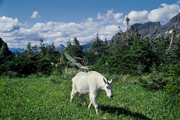 Mountain goat near Logan Pass, Glacier N.P., Montana