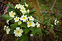 Primroses {Primula vulgaris} flowering in woodland clearing, Yorkshire Dales National Park, UK. April.
