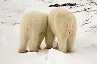 Polar bears rear end view, Wapusk National Park, Manitoba, Canada, November 2006