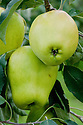 """Apple 'Lady's Finger of Lancaster', mid September. """"Introduced in 1824 in Lancashire. An attractive mid-season cooking apple, keeps its shape when cooked. Quite unusual now, though it was a common sight in Lancashire and Cumbria in the 19th century."""" (R.V. Roger) """"Lady's finger"""" is the name to given to apples with an elongated, oval or conical shape."""