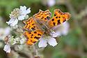 Comma Butterfly {Polygonia c-album} feeding on bramble flowers, Oxfordshire, UK. July.