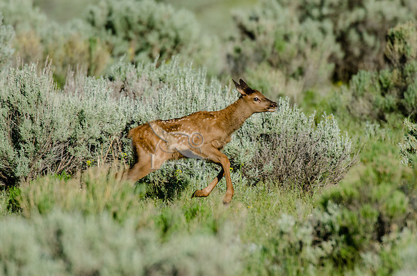 Young Rocky Mountain Elk Calf (Cervus canadensis nelsoni) running/being playful.  Northern Rockies, June.