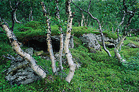 Birch Trees and wildflowers, Norway, Europe