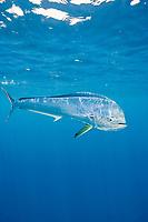 dorado, mahimahi, mahi-mahi, dolphinfish, or dolphin-fish, Coryphaena hippurus, large bull (male), off Isla Mujeres, near Cancun, Yucatan Peninsula, Mexico (Caribbean Sea)