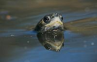 Mediterranean Pond Turtle, Mauremys leprosa, adult swimming, Samos, Greek Island, Greece, April 1994