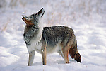 A coyote looks up towards the sky while entrenched in winter snow.