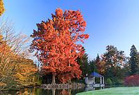 France, Allier (03), Villeneuve-sur-Allier, Arboretum de Balaine en automne, cyprès chauve, Taxodium distichum et le kiosque