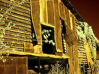 Old barn with wind-torn tin and vines, infrared