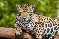 jaguar, Panthera onca, resting on a tree, Espirito Santo, Brazil