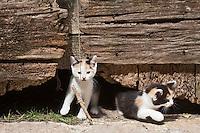 Europe/Europe/France/Midi-Pyrénées/46/Lot/Carennac: chatons à la porte d'une grange du village