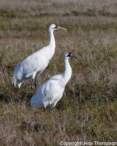 Whooping Cranes, Intercostal Canal near Aransas NWR
