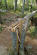 Broken / Twisted Softwood Tree Trunk in the White Mountain National Forest of New Hampshire USA