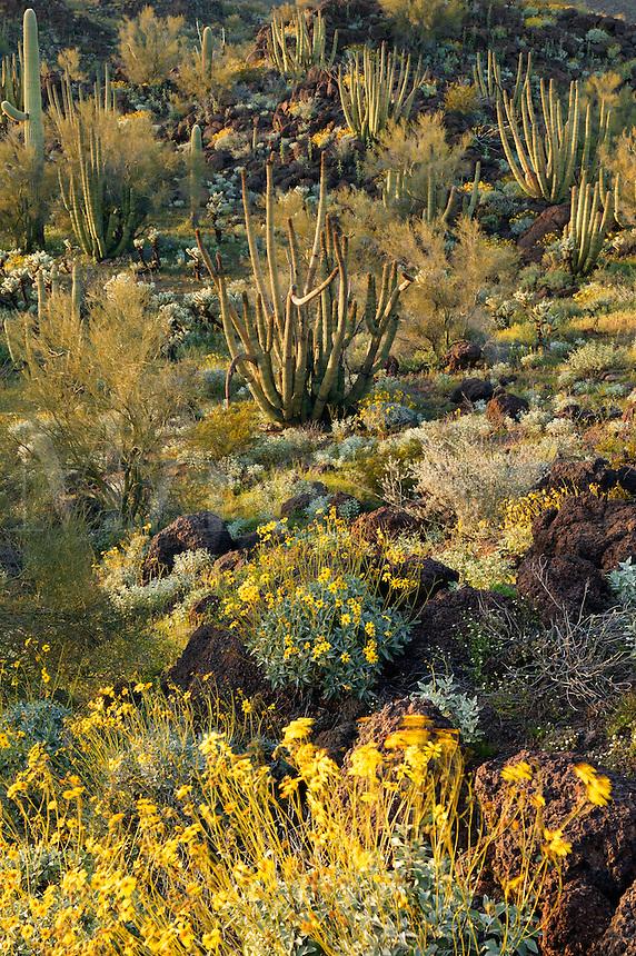 Organ Pipe Cactus (Stenocereus thurberi) Brittlebush (Encelia farinosa) From Ajo Mountain Drive, Organ Pipe Cactus National Monument, Arizona