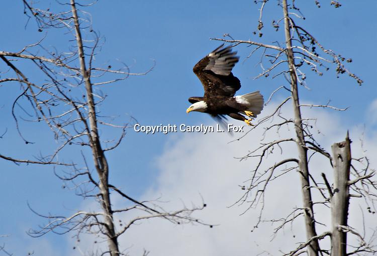 An American Bald Eagle flies through the sky between Yellowstone and Grand Teton National Park.