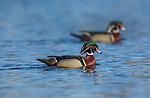 Drake wood ducks in northern Wisconsin.
