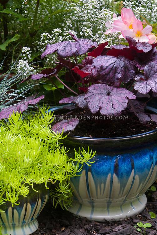 Container gardens pots, Festuca, blue pots, Alyssum Lobularia purple Heuchera Grape Expecations , yellow Sedum Begonia  in flower