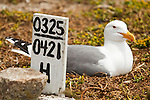 Western Gull (Larus occidentalis) incubating on nest with research sign stating the nesting pattern of this individual, South Farallon Islands, Farallon Islands, Farallon National Wildlife Refuge, California
