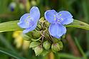 Tradescantia virginiana, mid July. Commonly known as Virginia spiderwort.