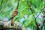 Mauritius Kestrels (Falco punctatus) -  Black River Gorges National Park, Mauritius, Indian Ocean.