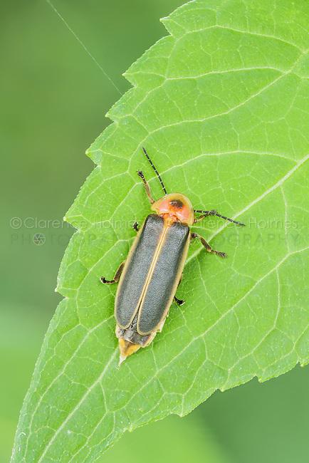A female Firefly (Photinus sp.) perches on a leaf.
