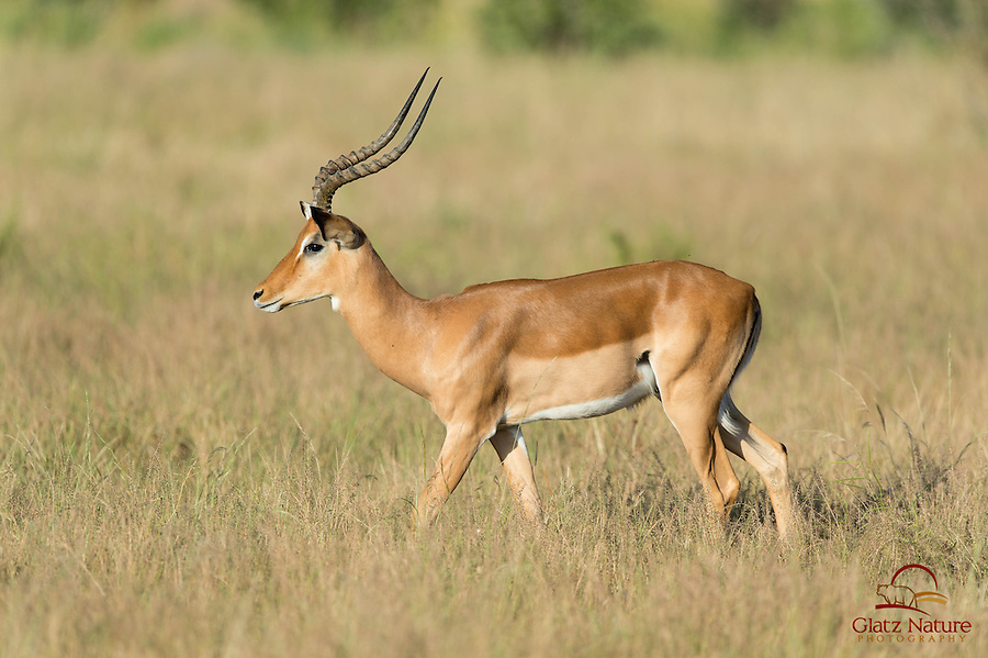 Impala (Aepyceros melampus) male grazing, Samburu