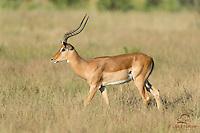 Impala (Aepyceros melampus) male grazing, Samburu