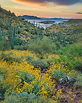 Brittlebush at Lake Pleasant, Arizona.  Spring of 2017 was a great season for wildflowers, and sunrise at Lake Pleasant, northwest of Phoenix, was a great time and place to find them.<br /> <br /> Image ©2019 James D Peterson.