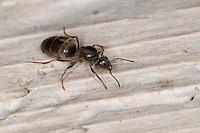 Schwarze Wegameise, Königin, Mattschwarze Wegameise, Schwarze Gartenameise, Schwarzgraue Wegameise, Lasius cf. niger, black garden ant, Common Black Ant