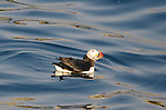Atlantic Puffin (Fratercula arctica) near Eastern Egg Rock, Maine.