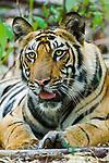 Young Bengal male tiger (Panthera tigris tigris ) - 14 months (Lakshmi cub) resting, Bandhavgarh National Park, India.