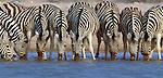 Burchell's Zebras drink from a shallow waterhole, Etosha National Park, Namibia
