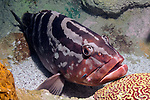 Nassau Grouper full body view 45 degrees to camera with Neon Goby near its' mouth