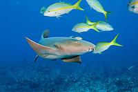 nurse shark, Ginglymostoma cirratum, yellow-tailed snappers, Ocyurus chrysurus, and juvenile bar jack, Carangoides ruber, Cypress Tunnels, Ambergris Caye, Belize, Central America (Caribbean Sea)