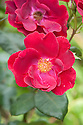 Rosa 'Dusky Maiden', mid August. A floribunda rose with lightly fragrant, single, dark red to maroon flowers from late spring into autumn.