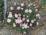 Splish Splash miniature Rose bush, Rosa hybrid