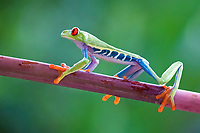 red-eyed treefrog, Agalychnis callidryas, on a tree branch, in rainforest, Costa Rica