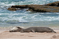 Hawaiian monk seals, Neomonachus schauinslandi; note shark bite scars on chest of juvenile seal on left; Critically Endangered endemic species, west end of Molokai, USA, Pacific Ocean