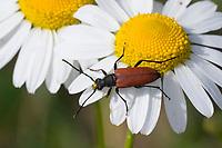 Blutroter Halsbock, Weibchen, Blütenbesuch auf Margerite, Anastrangalia sanguinolenta, Leptura sanguinolenta, Blood red longhorn beetle, Blood-red longhorn beetle, female