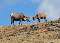 Big Horn Sheep, Rocky Mountain National Park, Colorado