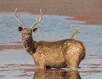 Sambar deer graze for aquatic plants while providing a perch for herons and egrets hunting fish and frogs.