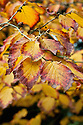 Autumn foliage of witch hazel (Hamamelis x intermedia 'Hiltingbury'), early November.
