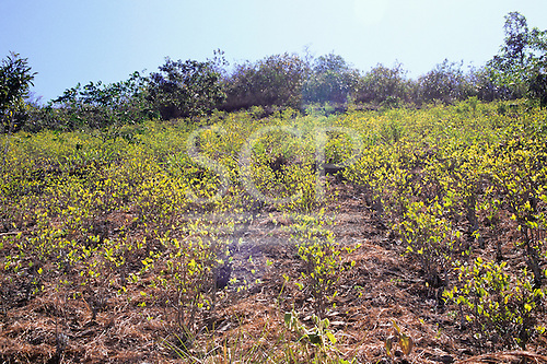 Ccochapampa, Peru. Field of coca bushes.