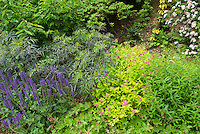 Sambucus nigra Black Lace shrub with Spiraea Goldflame and Salvia for pretty garden border of shrubs and perennials, foliage and flowers