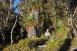 The prominent spiky pandani is one of the world's tallest heath plants..Pandani (richea pandanifolia) endemic to tasmania.....Pandani (richea pandanifolia) cette variété de bruyère est la plus haute au monde.Comme beaucoup de plantes de Tasmanie, elle partage un ancètre commun avec des espèces de Nouvelle Zélande et d'Amérique du Sud, terres qui étaient autrefois réunies en un même continent, le Gondwana