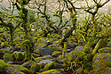 Upland oak woodland, Wistman's Wood, Dartmoor National Park, Devon. January.