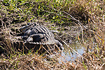 Damon, Texas; a large, adult American Alligator resting on the bank of the slough, warming itself in early morning sunlight